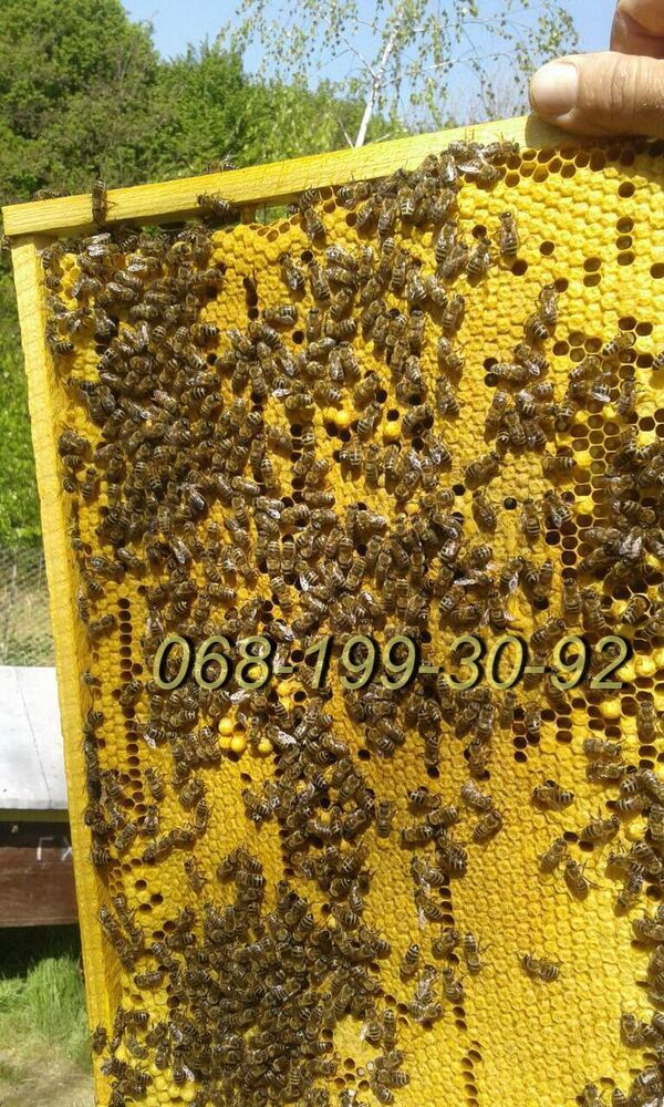 Бджоли: плідні бджоломатки, бджолопакети Карпатської породи