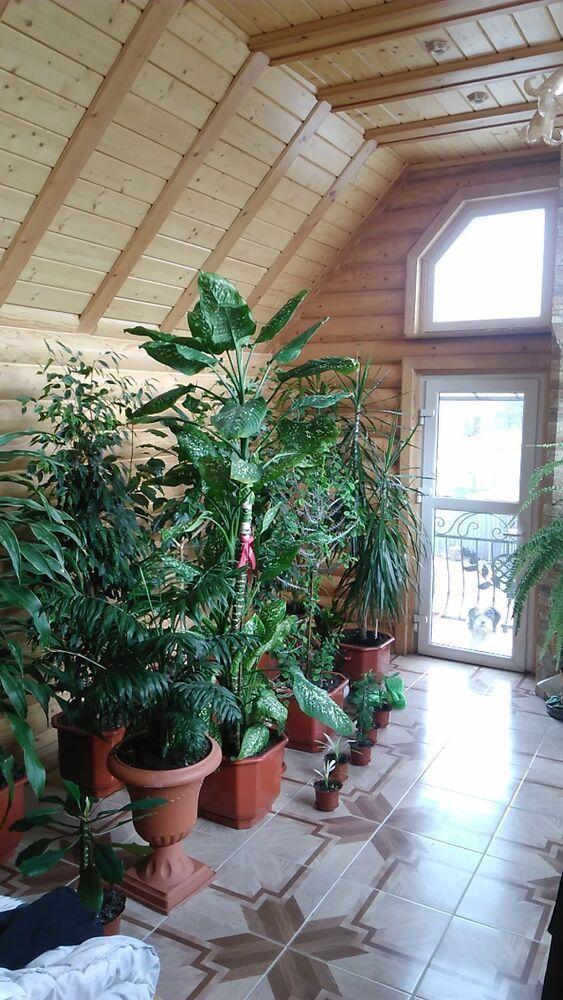Продам великі кімнаті рослини недорого
