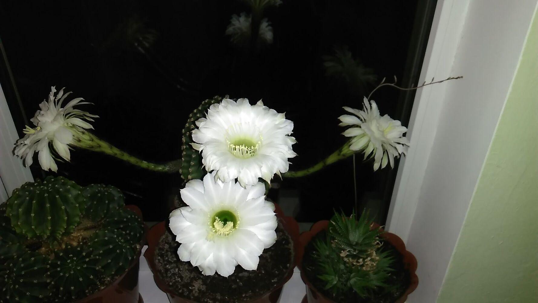 Продам квітучі кактуси